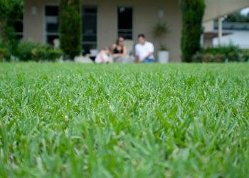 Sir Walter Buffalo Grass Turf Type