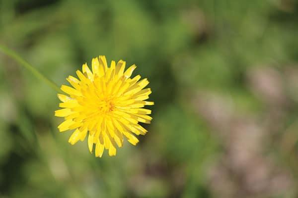 Lawn Weeds – Dandelion