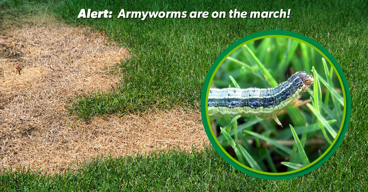 Identifying And Treating Lawn Pests Lawn Solutions Australia