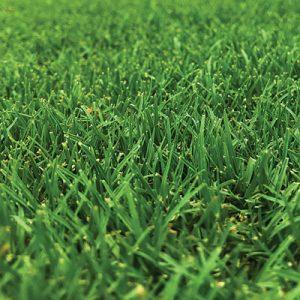 TifTuf Grass